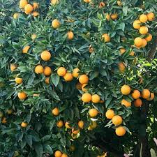 4 5 year valencia orange tree