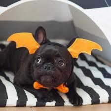 Halloween Costumes Bulldogs 25 Bulldog Costume Ideas Bull Dog Baby