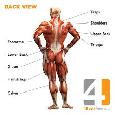 Human Body Muscles Images Muscles Of Human Back Human Anatomy Chart