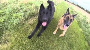 4 types of belgian sheepdogs belgian shepherd vs german shepherd slow motion youtube