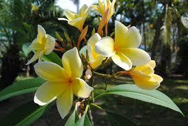 Tropical Fragrant Plants - free images tree nature blossom flower petal bloom floral