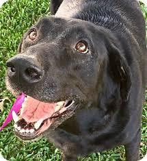 american eskimo dog for sale in colorado ranger adopted dog colorado springs co labrador retriever mix