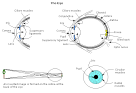The Blind Spot In The Eye Is Due To Gcse Science The Nervous System Wikibooks Open Books For An