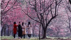 tourist slammed for climbing up tree to shake cherry