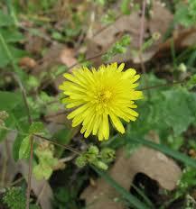 edible native plants edible wild plants u2013 dandelion greens sensible survival