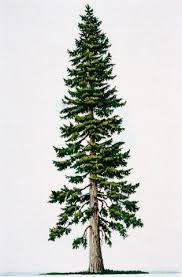 douglas fir tree douglas fir tree clip clipart free