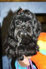 affenpinscher near me pictures of nelly in rogers ar a affenpinscher mix for adoption