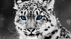 white tiger home decor black and white photography wallpaper hd abstract loversiq