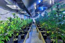 Inside Garden by Peeking Inside Sky High Gardens A Tier 3 Commercial Cannabis