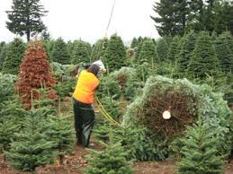 oregon wholesale christmas trees fc trees
