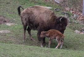 West Virginia wildlife images Photo meet the bison calf from the west virginia wildlife center jpg