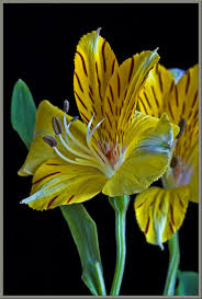 alstroemeria flower mic uk a up view of the peruvian