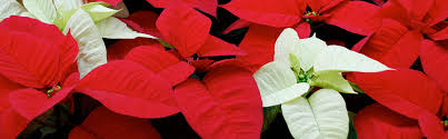 home depot black friday poinsettia the home depot growing holiday cheer for 100 years meet the