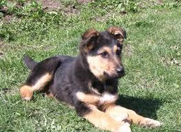 pomeranian x australian shepherd u breed info characteristics and pomsky pomeranian pomsky