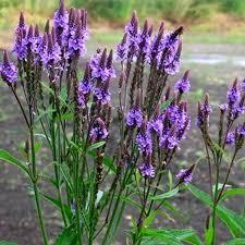 20seed bag verbena hastata seed verbena seed herbaceous plant