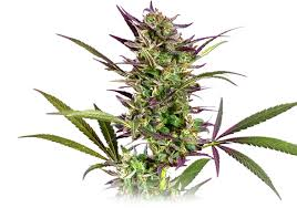 home medical cannabis delivery sonoma 707 508 6145 sundays