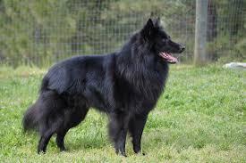 belgian sheepdog trials trust