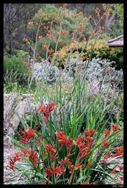 best native plants garden gallery native plant and specialists best australian