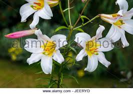 White Trumpet Flower - close up of white trumpet lily lilium longiflorum u0027white heaven