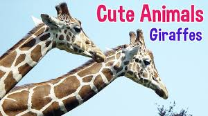 giraffes animals for kids giraffe photos with classical music