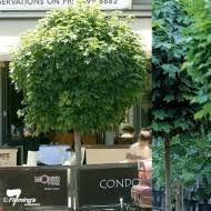 evergreen ornamental trees for small gardens cori matt garden