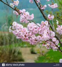 autumn cherry winter flowering cherry prunus subhirtella stock
