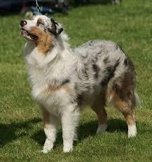 australian shepherd grey dog coat colour genetics