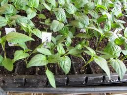 how to start heirloom tomato and pepper seeds for best germination