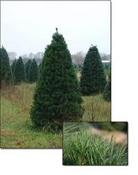scotch pine christmas tree fresh scotch pine christmas trees christmas farms
