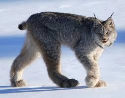 lynx symbolism a message spirit animal totems