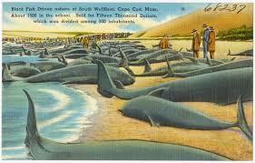 file black fish driven ashore at south wellfleet cape cod mass