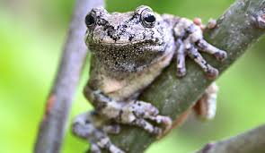 gray tree frog nongame hshire fish and department