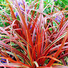 grass uncinia rubra 5 seeds ornamental grass e67 ebay
