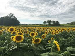 Grinter Farms Life With A Dash Of Whimsy Trip To The Sunflower Farm