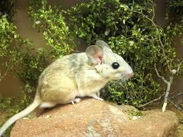 transplants let pack rats eat poison inkfish