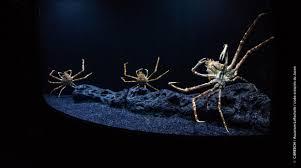 japanese giant spider crab aquarium la rochelle