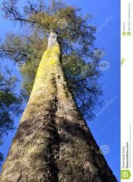 native plants christchurch kahikatea tree forest christchurch new zealand stock photography