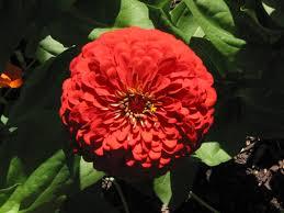 zinnia flower free stock photo image red zinnia garden flower