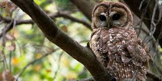 spotted owl our endangered