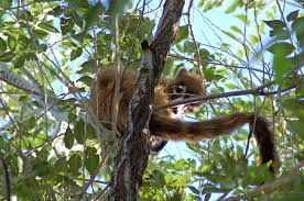 New Mexico wild animals images Live from silver city coati in a tree jpg