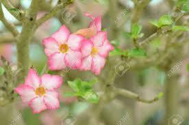 beautiful plants desert rose impala lily mock azalea is the name of colorful