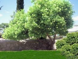 southwest trees