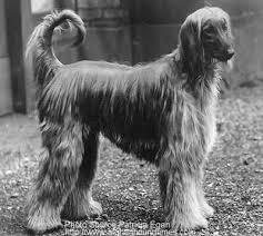 afghan hound giving birth afghan hound times kennel breeder history u003cbr u003e brantwood kennels