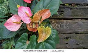 anthurium flower anthurium stock images royalty free images vectors