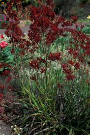 native plants australia list kangaroo paws plant anigozanthos u0027kangaroo paw u0027 australian