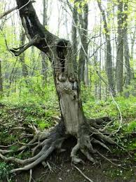 tree face face trees and pareidolia theartofpatriciaallinghamcarlson
