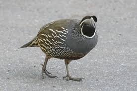 callipepla c californica the california quail