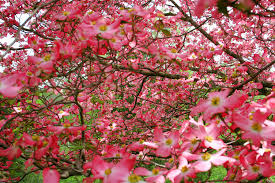 dogwood flowers pink dogwood flowers flowers free nature pictures by