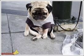 Sad Pug Meme - create meme well damn well damn pug sad pug pictures