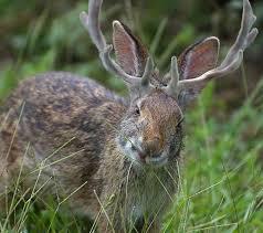 Nevada wildlife images Wildlife profile the jackalope nevada trivia jpg